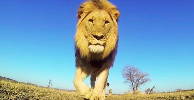 GoPro im Mund des Löwen: Savannen-Video